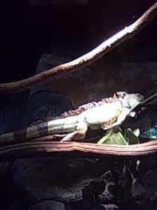 Iguana! A big one!