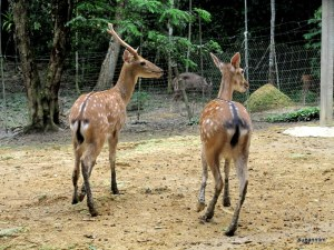 Spotted Deer - looking so graceful. They ran at the slightest sounds - and man, they are quick! They are also very pretty